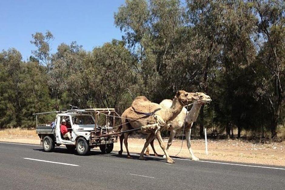 specijalno-za-arapite-namesto-konjski-nissan-vovede-kamilski-sili